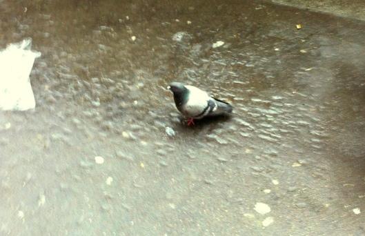 002-piccione 740 jpeg- copie